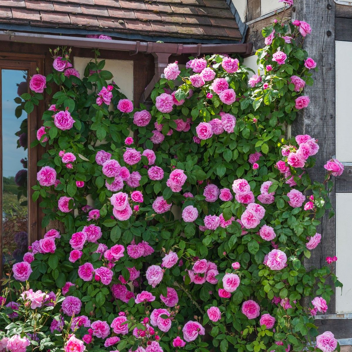 39 gertrude jekyll 39 climbing rose from david austin roses. Black Bedroom Furniture Sets. Home Design Ideas