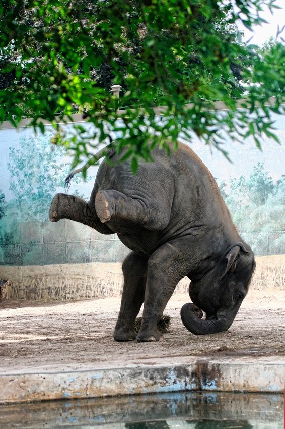 I M Not Sure Why This Elephant Is Doing A Headstand It Almost Looks Like The Background Is A Zoo I Would Love To See This Beauty Free Elefanten Wilde Tiere Und