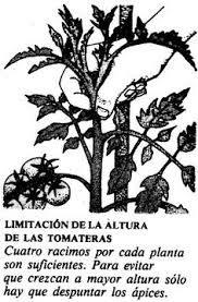 Resultado de imagen para cultivar tomates en macetas