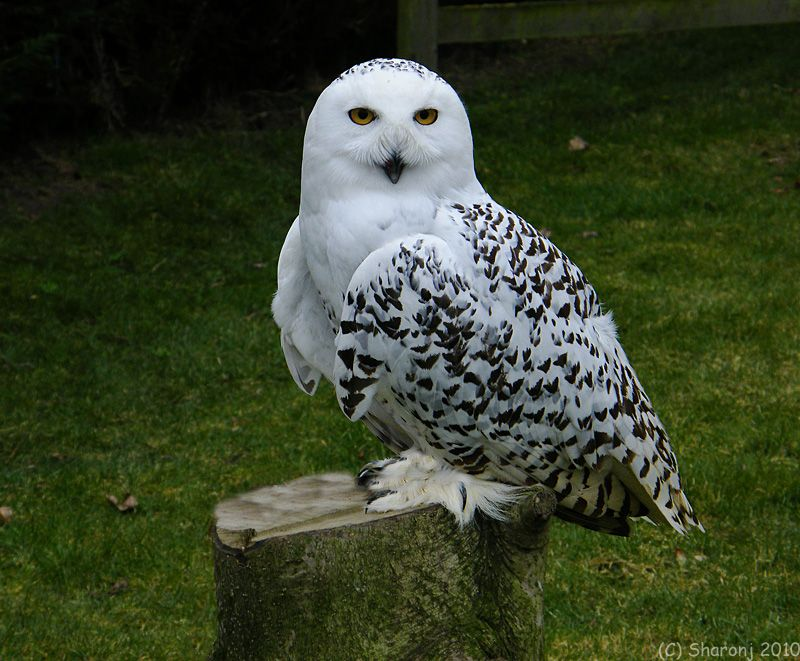 The Snowy Owl Bubo Scandiacus Is A Large Owl With A Rounded Head