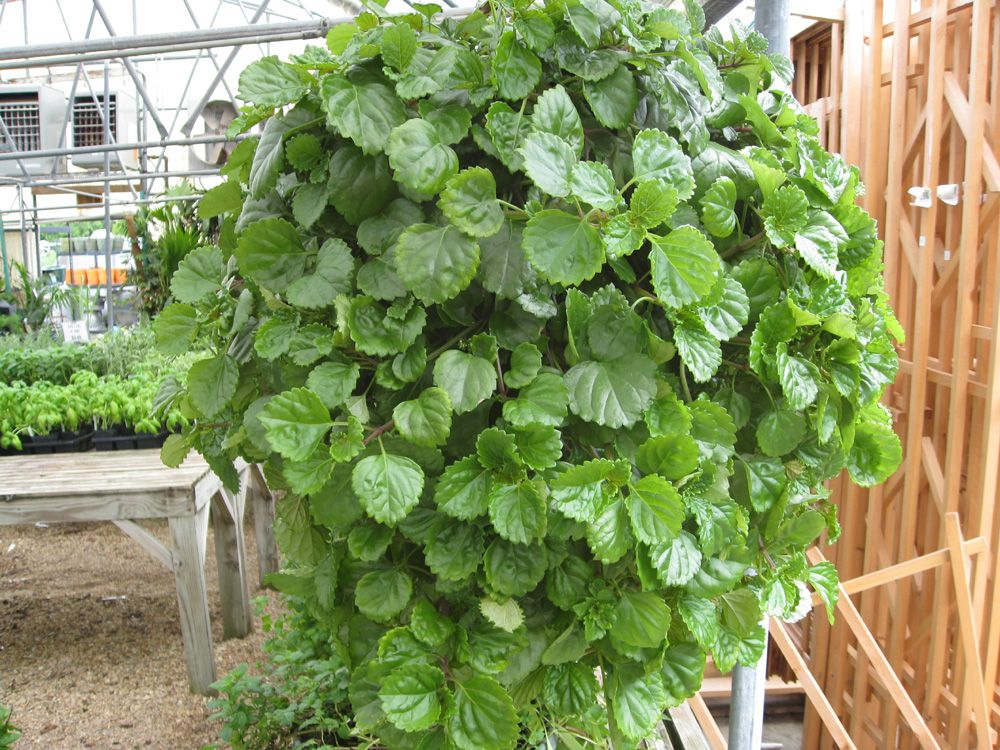 Swedish Ivy Additional Common Names Creeping Charlie Scientific
