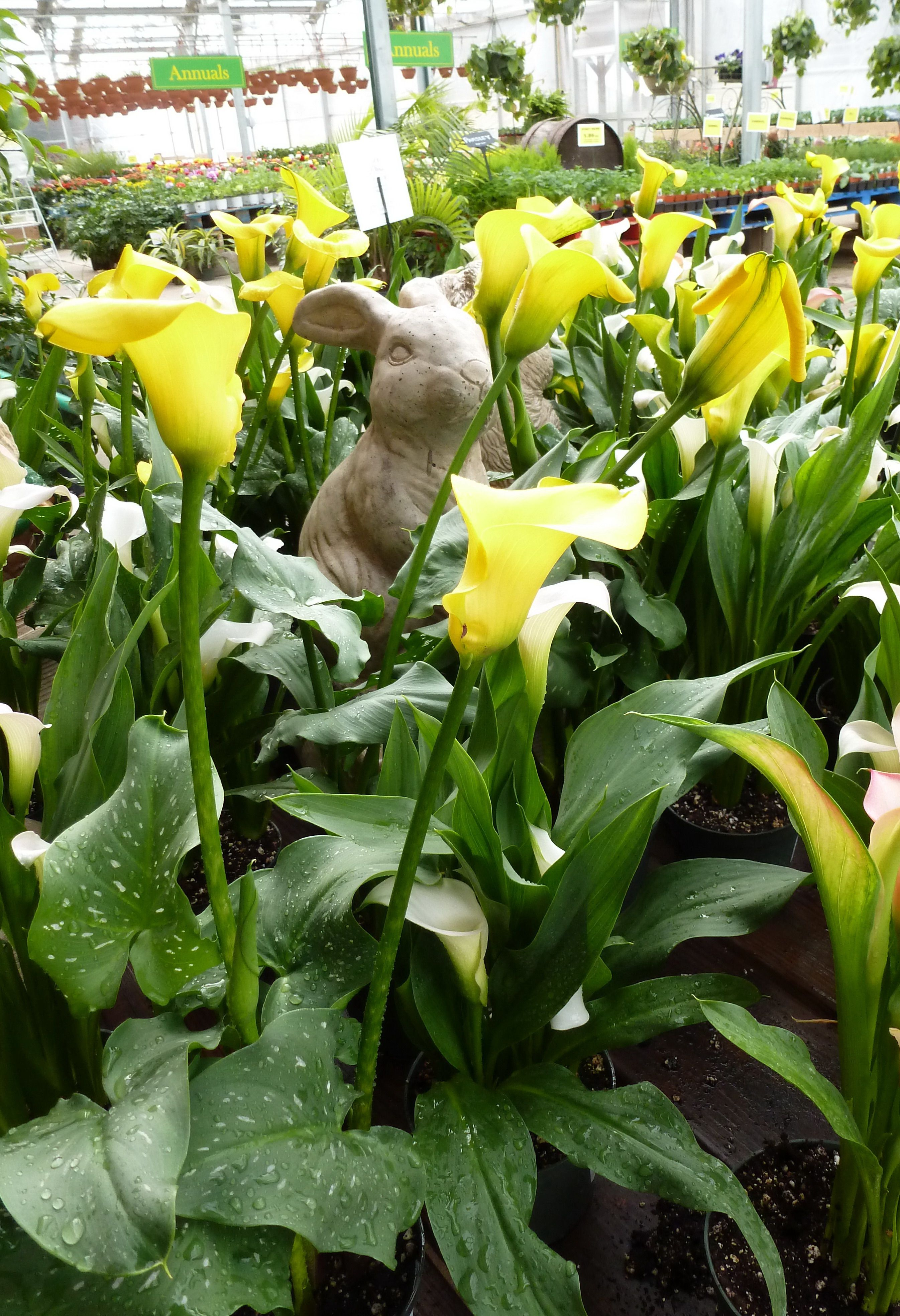 Yellow Calla Lily Caring For A Calla Lily Is Relatively Easy Since