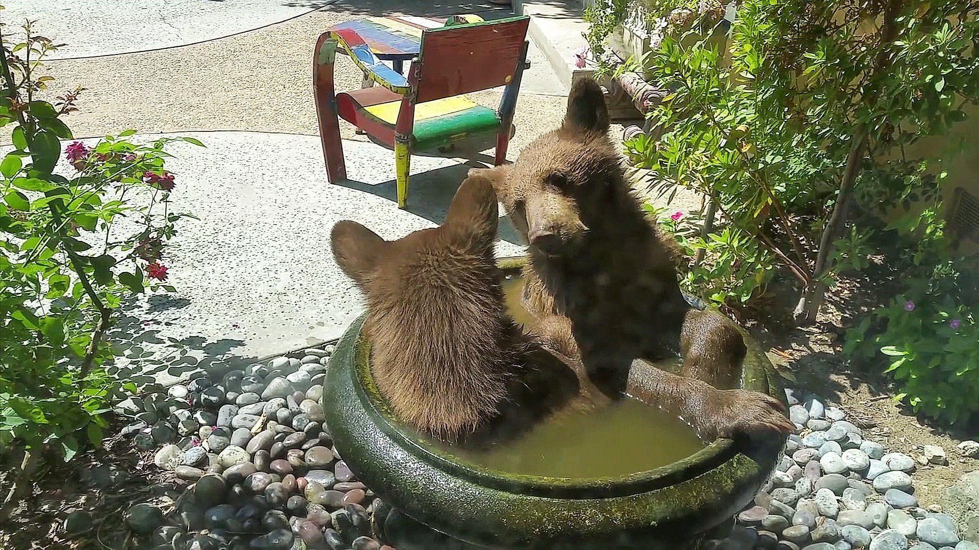 adorable bear cubs crash the bird bath and have no idea they u0027re
