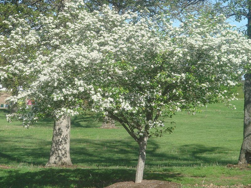 Flowering Hawthorn Tree In Mayfield Kentucky April 30 2014 Hawthorn Tree Tree Spring Blooms