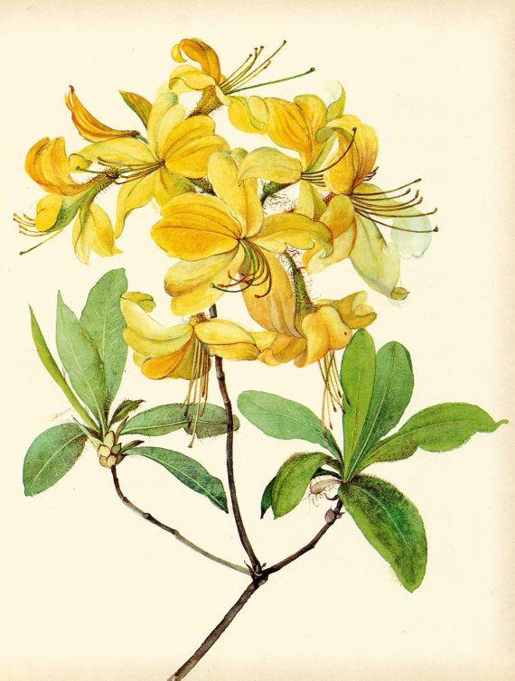 Gorgeous VINTAGE SHRUB Art Print Rhododendron Plant Vintage 1969 ...