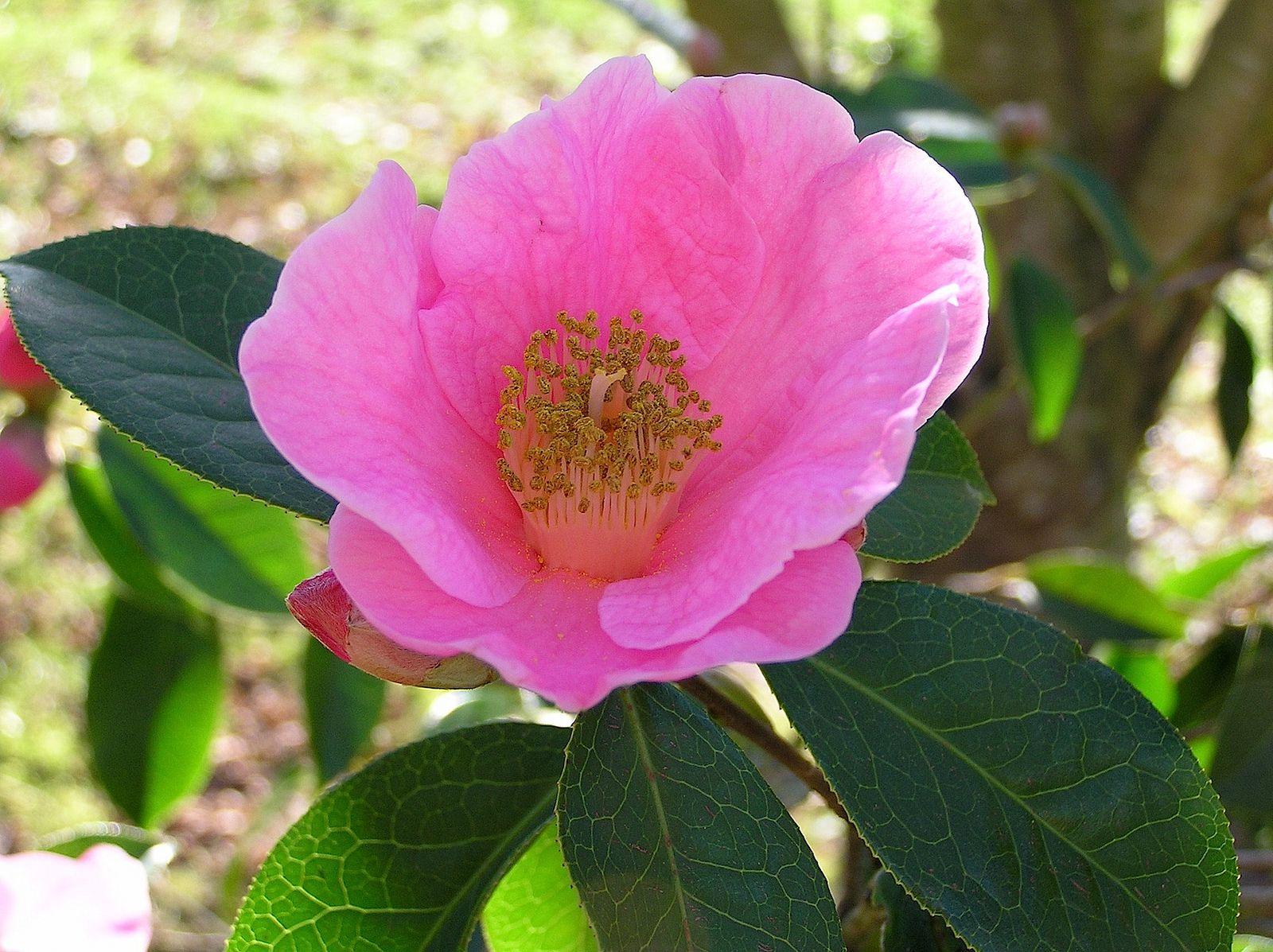 Camellia Reticulata Lindl 1827 Theaceae Planting Flowers Flowers Indoor Flowering Plants