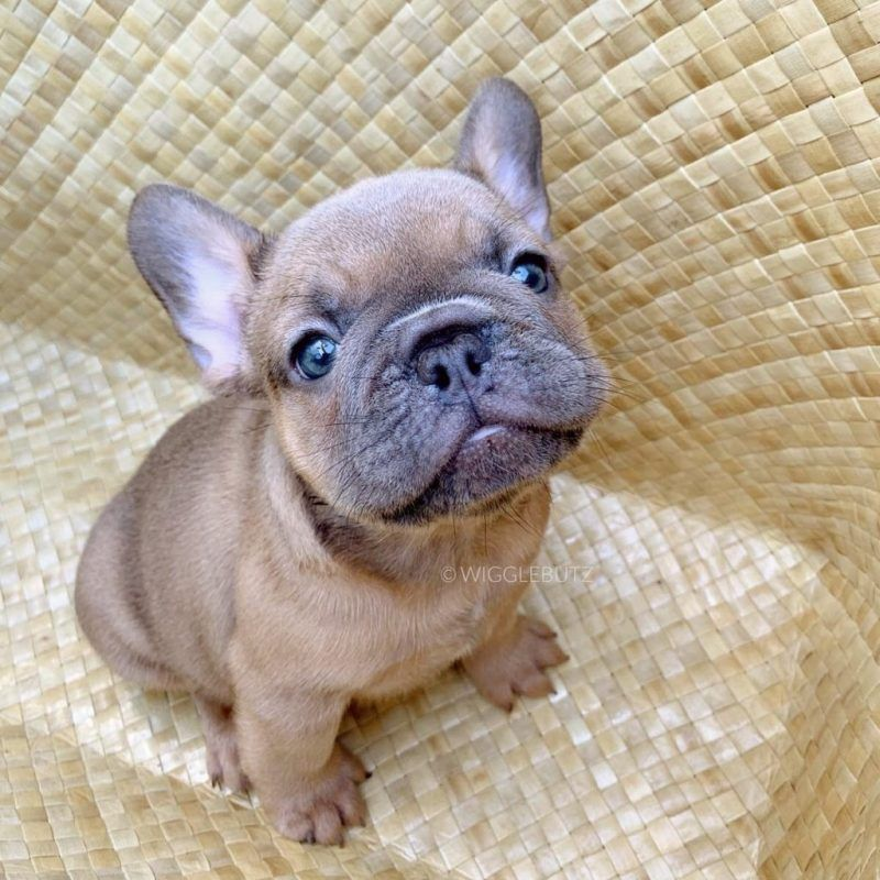 Puppy 2 In 2020 French Bulldog Puppies Bulldog Puppies For Sale