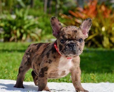 The Traits We Admire About The Smart French Bulldog Pups