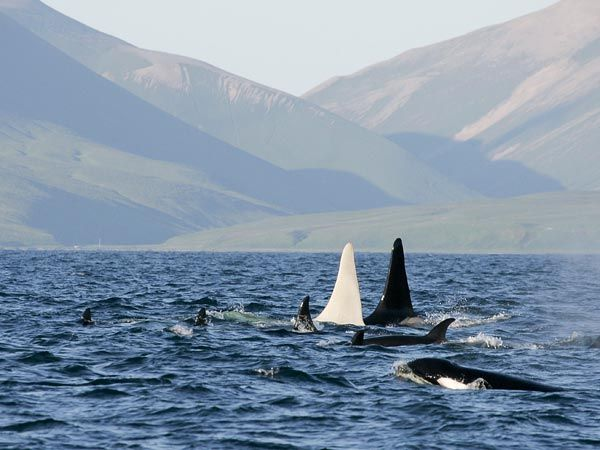 """The white killer whale swims with his family or """"pod"""" of  black and white whales."""