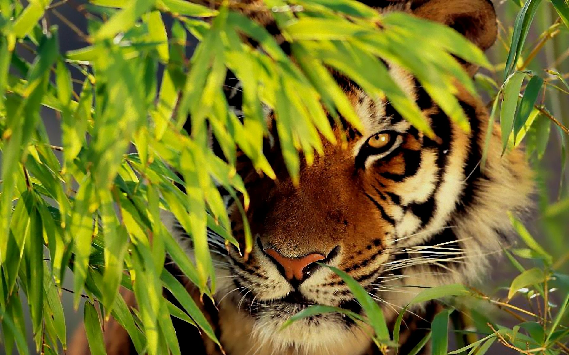 beautiful tiger wallpaper free | tigers | pinterest | tiger