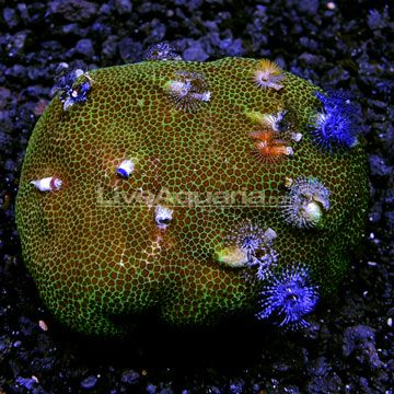 Encrusting Porites Coral With Christmas Tree Worms Indonesia Fish Pet Tank Girl Aquatic