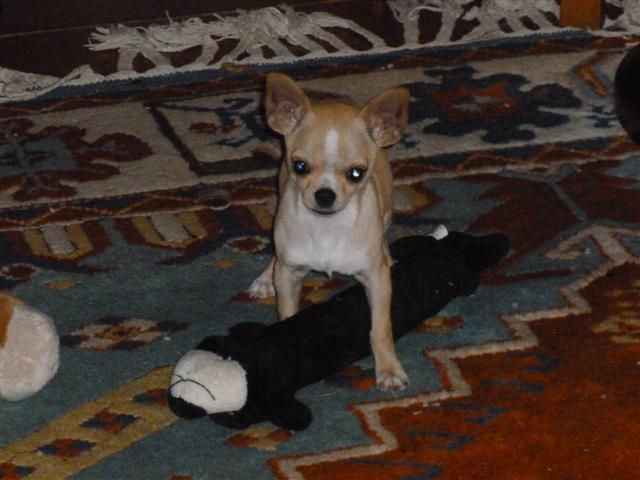 This Is A Bullhuahua A French Bulldog And Chihuahua Mix Puppy