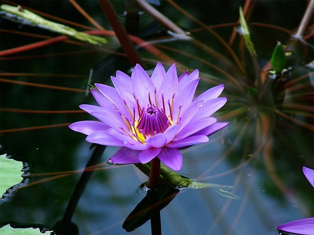 Purple Lotus Flower On Water Purple Lotus Flower On Water Sacred