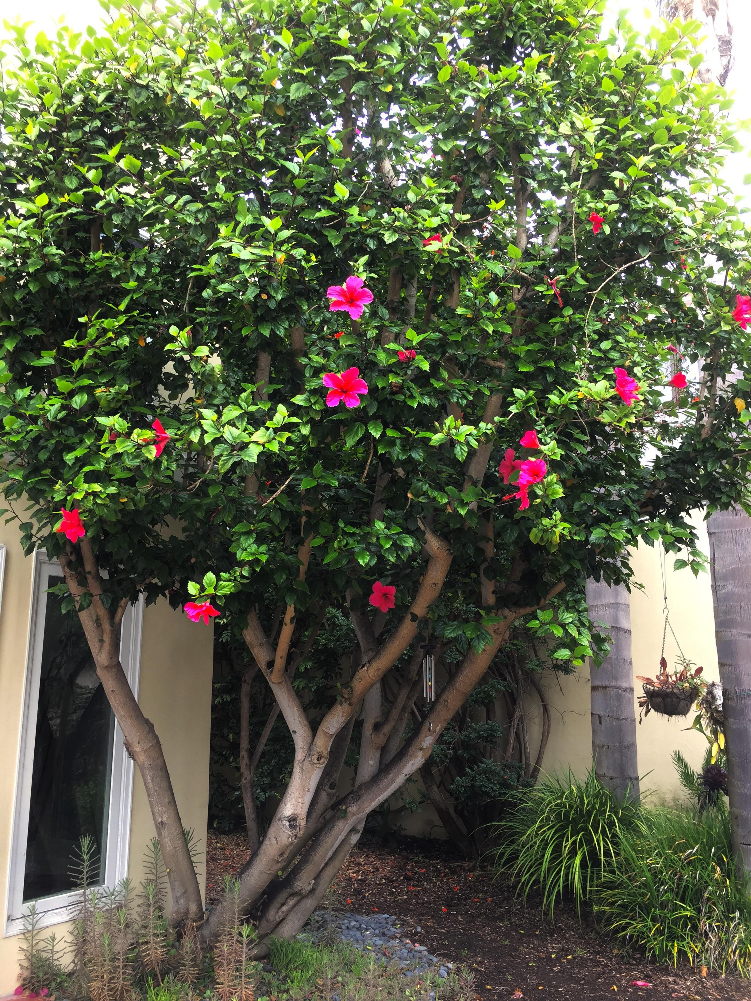 What Species Is My Hibiscus Tree Shes About 25 30 Years Old And