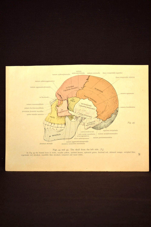 Human Skull Wall Art Skeleton Print Medical Wall Decor Anatomy ...