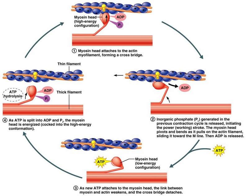 Chapter 9: How Muscles and Muscles Tissue contraction | Anatomy AND ...