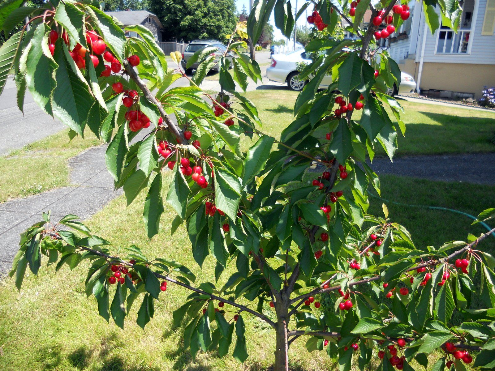 7 Popular Dwarf Or Miniature Fruit Trees For A Limited Space Dwarf Fruit Trees Miniature Fruit Trees Cherry Fruit Tree