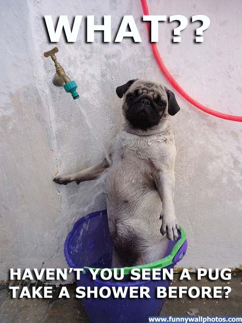 Funny Pug Pictures With Captions Well This Is The Most