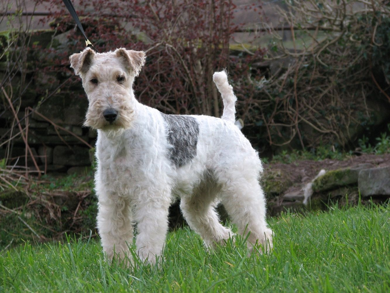 WIRE-HAIRED FOX TERRIER | Wired haired fox terriers | Pinterest ...