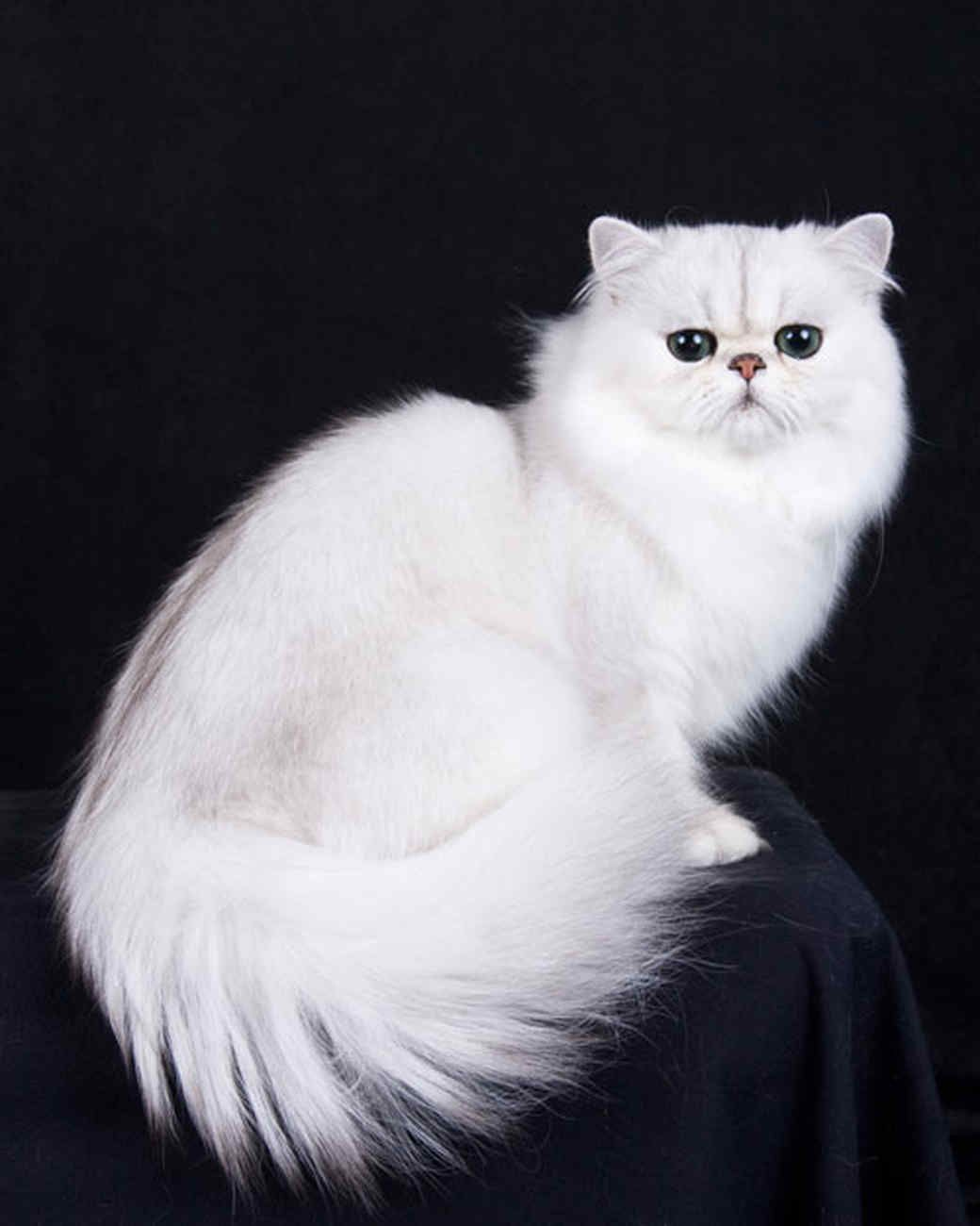 CFA Pedigreed Breed Persian Cats of All Different Colors and