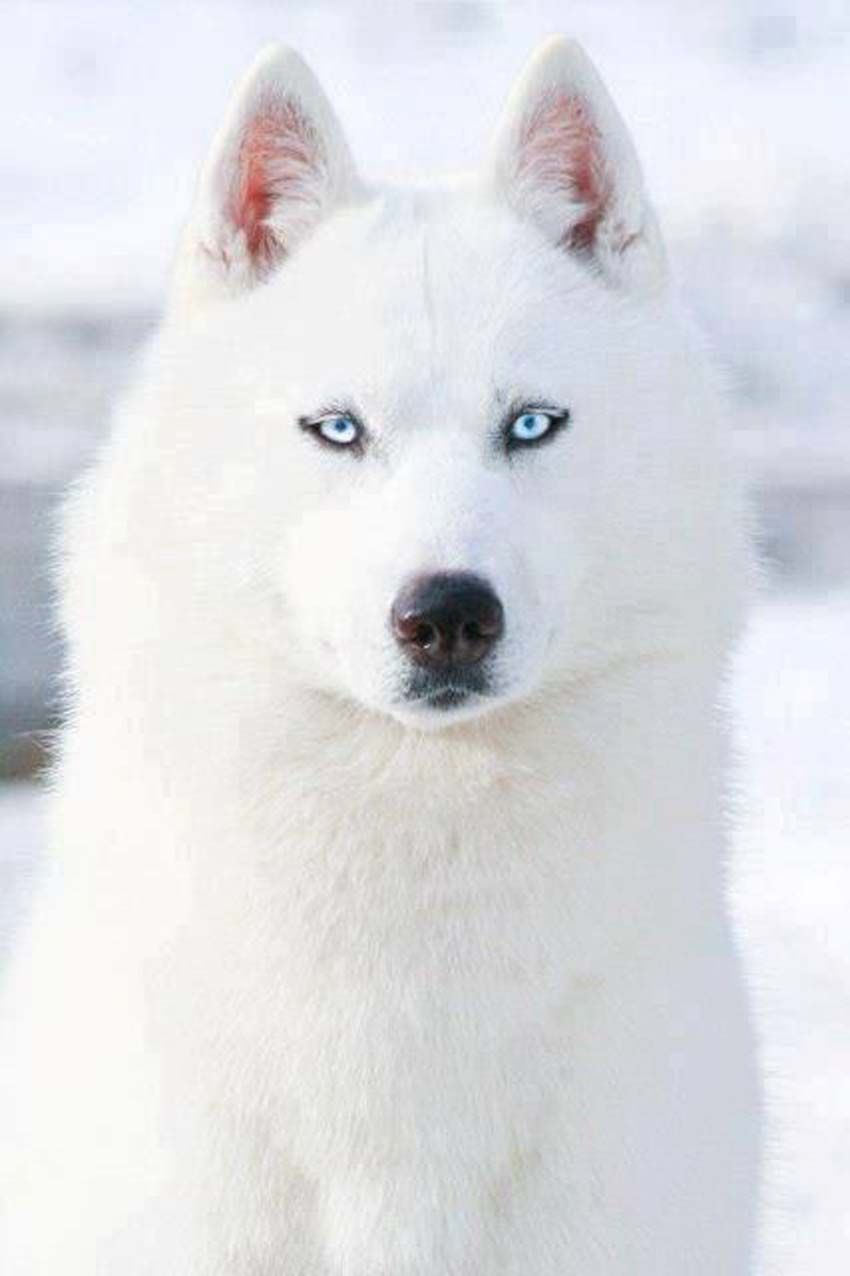 50 Very Beautiful Siberian Husky Dog Photos And Pictures White