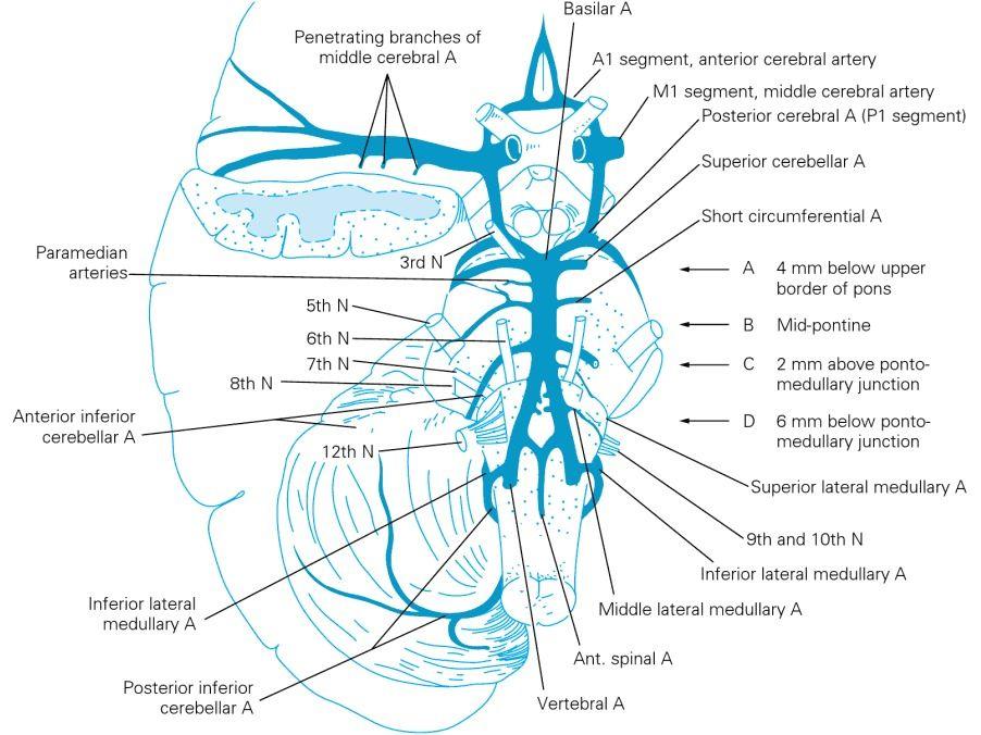 vertebrobasilar system | medicina <3 !! | Pinterest | Medicina ...