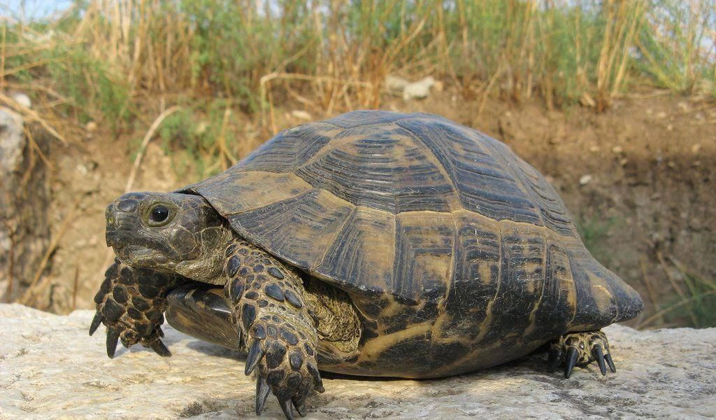 The African Spurred Tortoise (Geochelone sulcata) is also