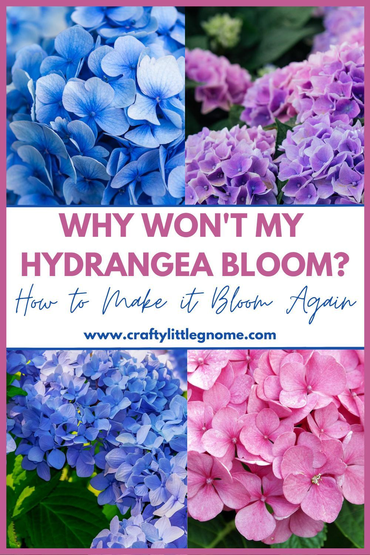 When Should Hydrangeas Be Pruned Crafty Little Gnome In 2020 Hydrangea Not Blooming Pruning Endless Summer Hydrangeas Hydrangea