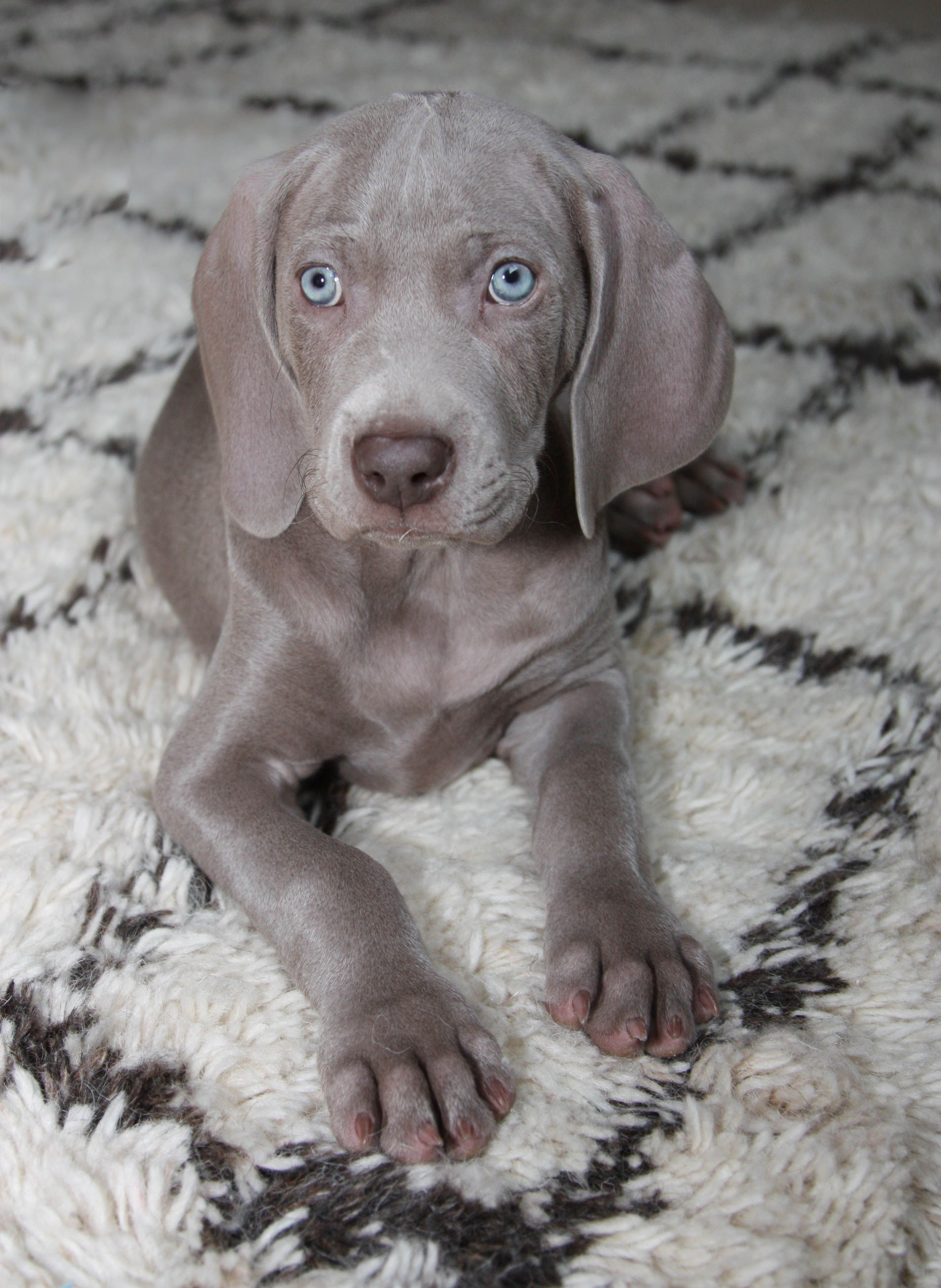 Weimaraner Puppy Can T Get Enough Of Those Eyes And Big Floppy