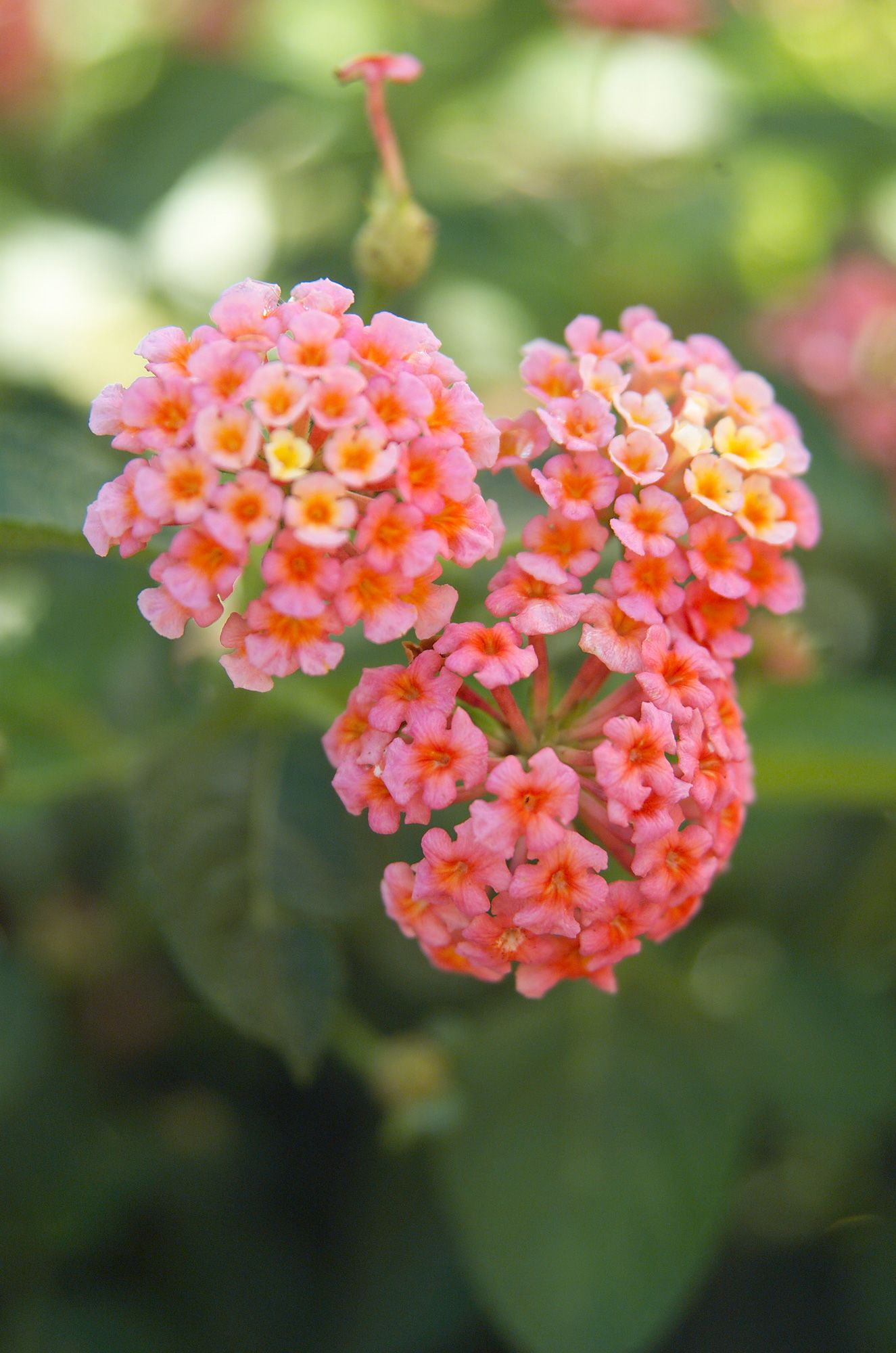 Lantana Is Perfect For Any Hot Dry Spots In Your Garden In 2020 Lantana Plants Foliage