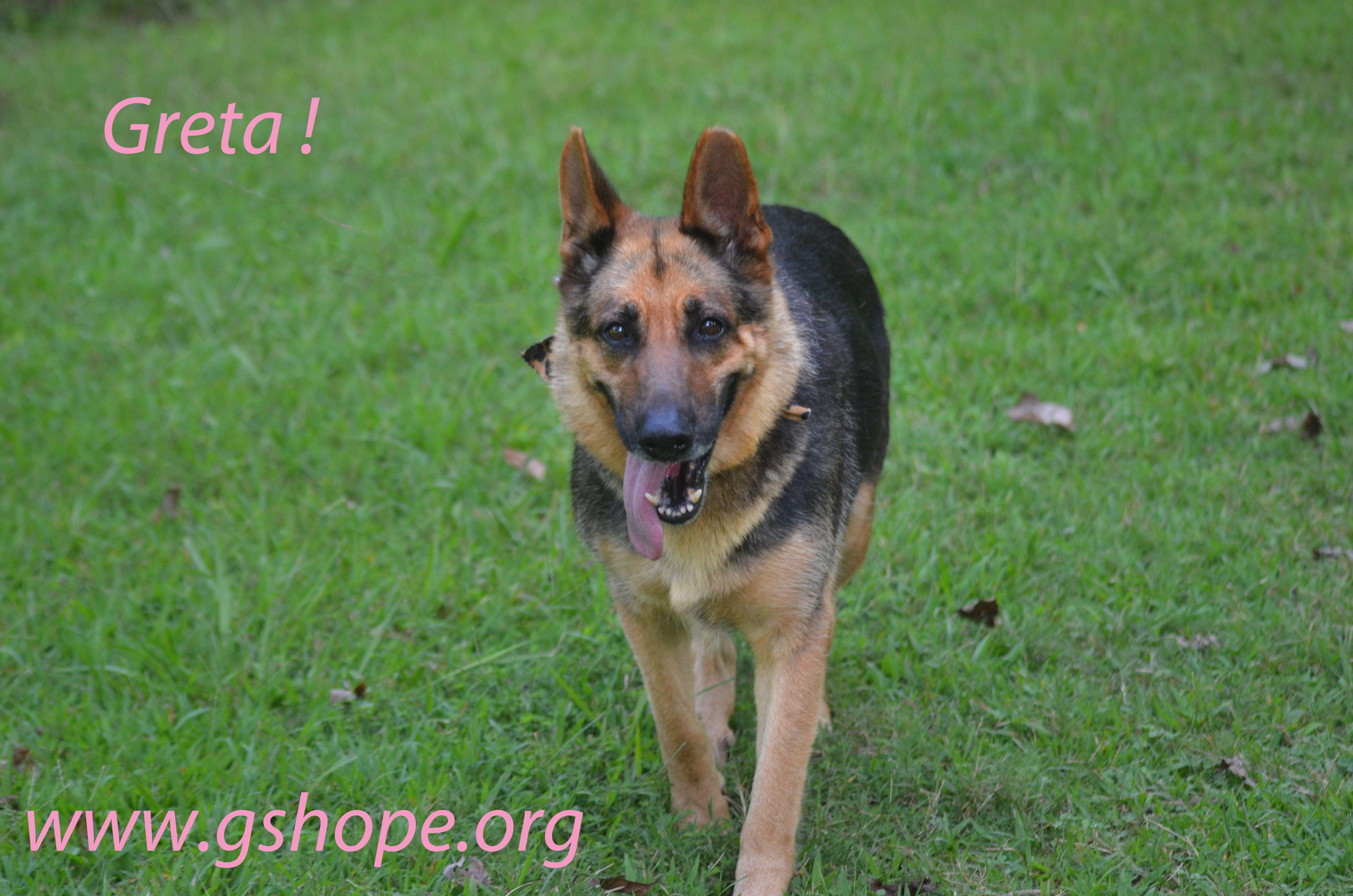German Shepherd Dog dog for Adoption in Clemmons, NC. ADN