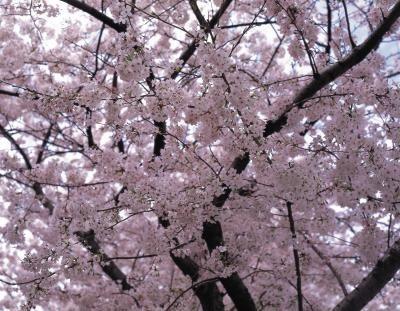 Yoshino Cherry Tree Colors Purple Leaf Sand Cherry Yoshino Cherry Tree Flowering Cherry Tree