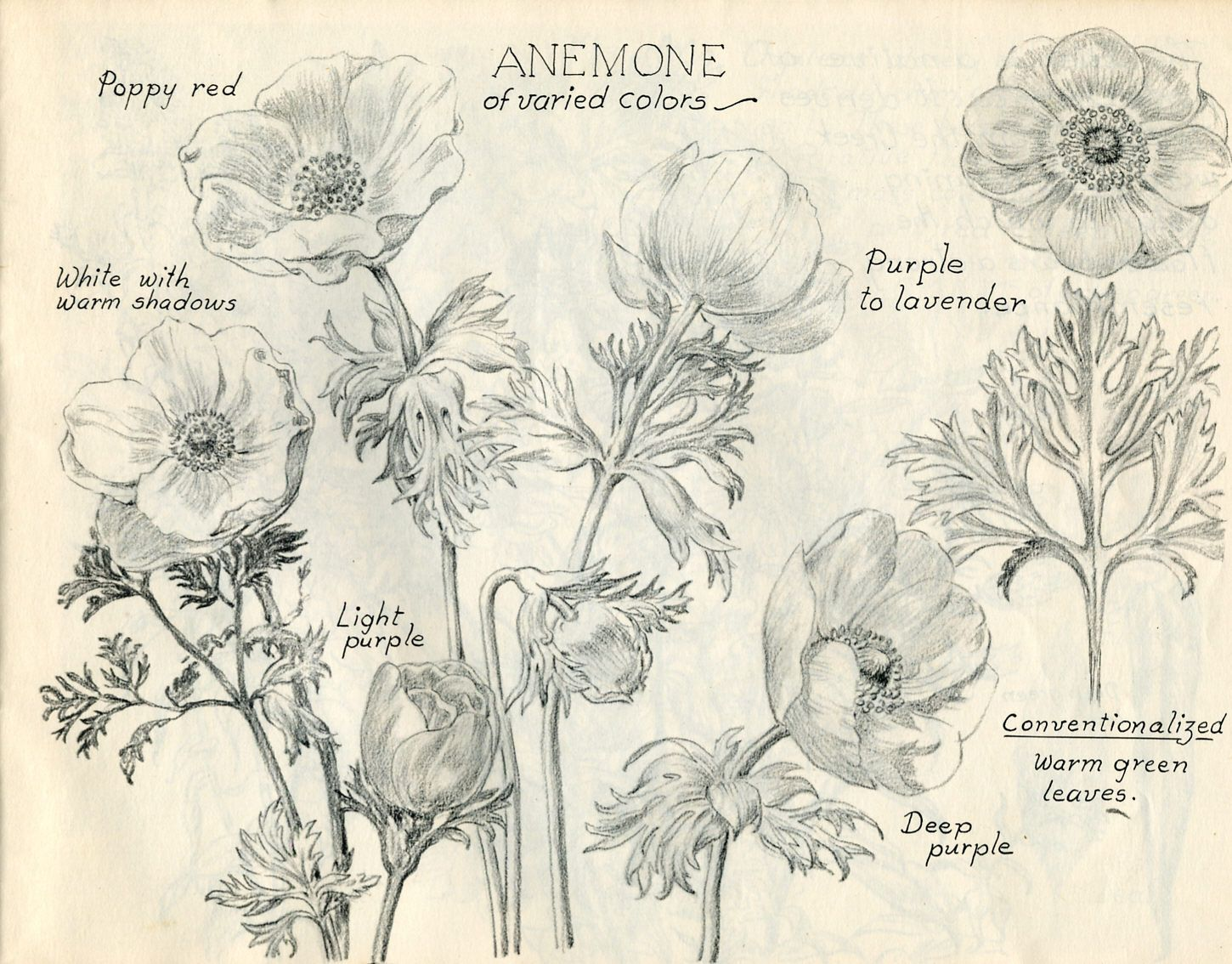 Anemone Flower Sketch 1450 1134 Flower Sketches Watercolor Flowers Tutorial Nature Sketch