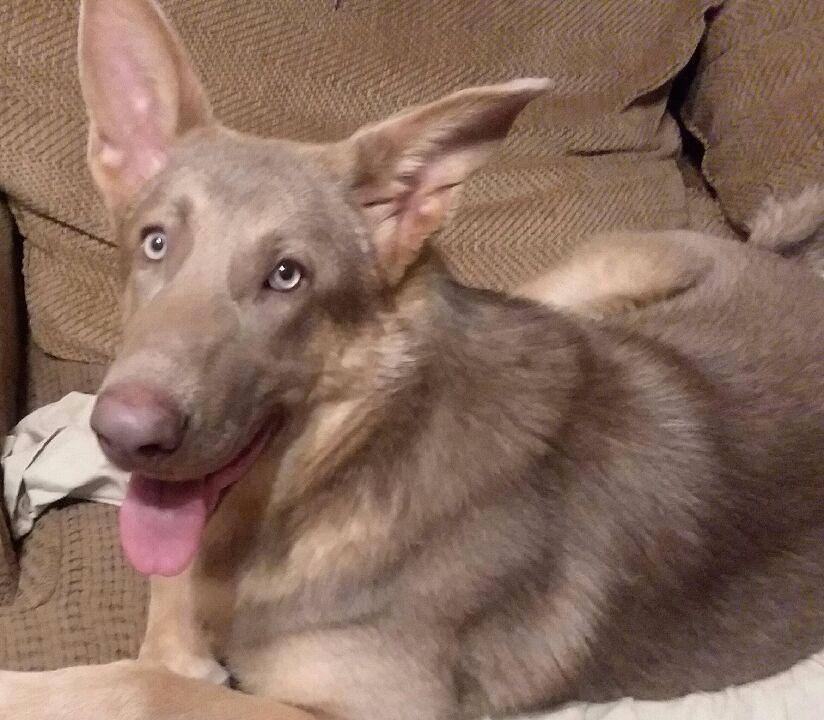 Pin On Our German Shepherd Pups