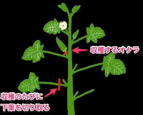 オクラの栽培方法 育て方のコツ 画像あり オクラ 栽培 栽培 オクラ