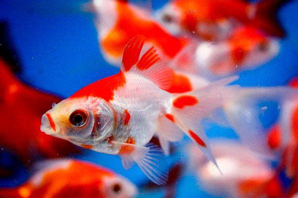 Goldfish For Sale Pond Fish Goldfish Sarasa Fantail Goldfish Goldfish For Sale Fantail Goldfish Freshwater Aquarium Fish Goldfish