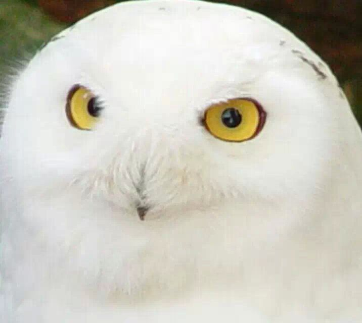 Hedwig Is So Cute I Love Her So Much