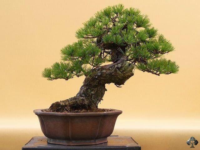 Goyomatsu Pine.  By: Ekobonsai
