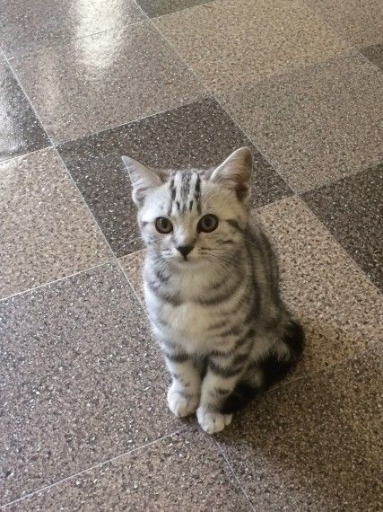 British Shorthair Silver Tabby Kittens For Sale Silver Tabby Kitten Tabby Kitten Tabby Cat Pictures