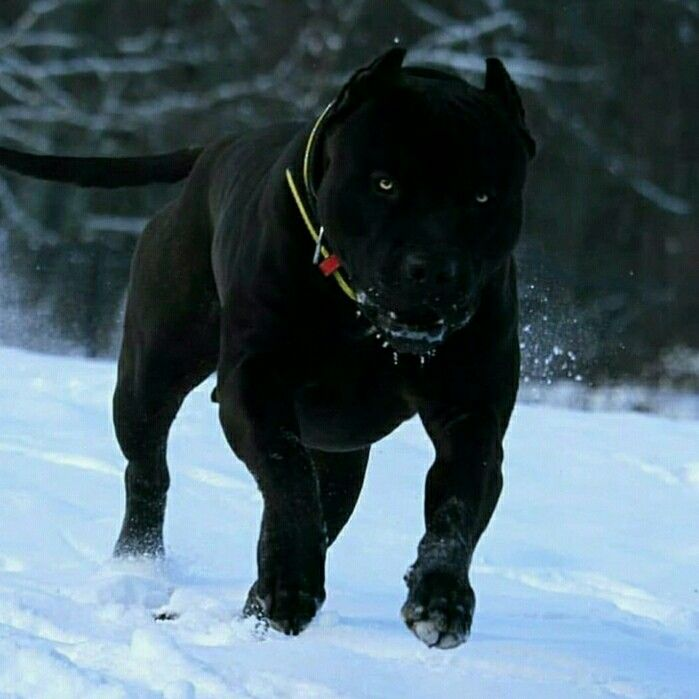 Pin By Street Series Colective On Adorable Animals Dogs Bully Breeds Dogs Corso Dog