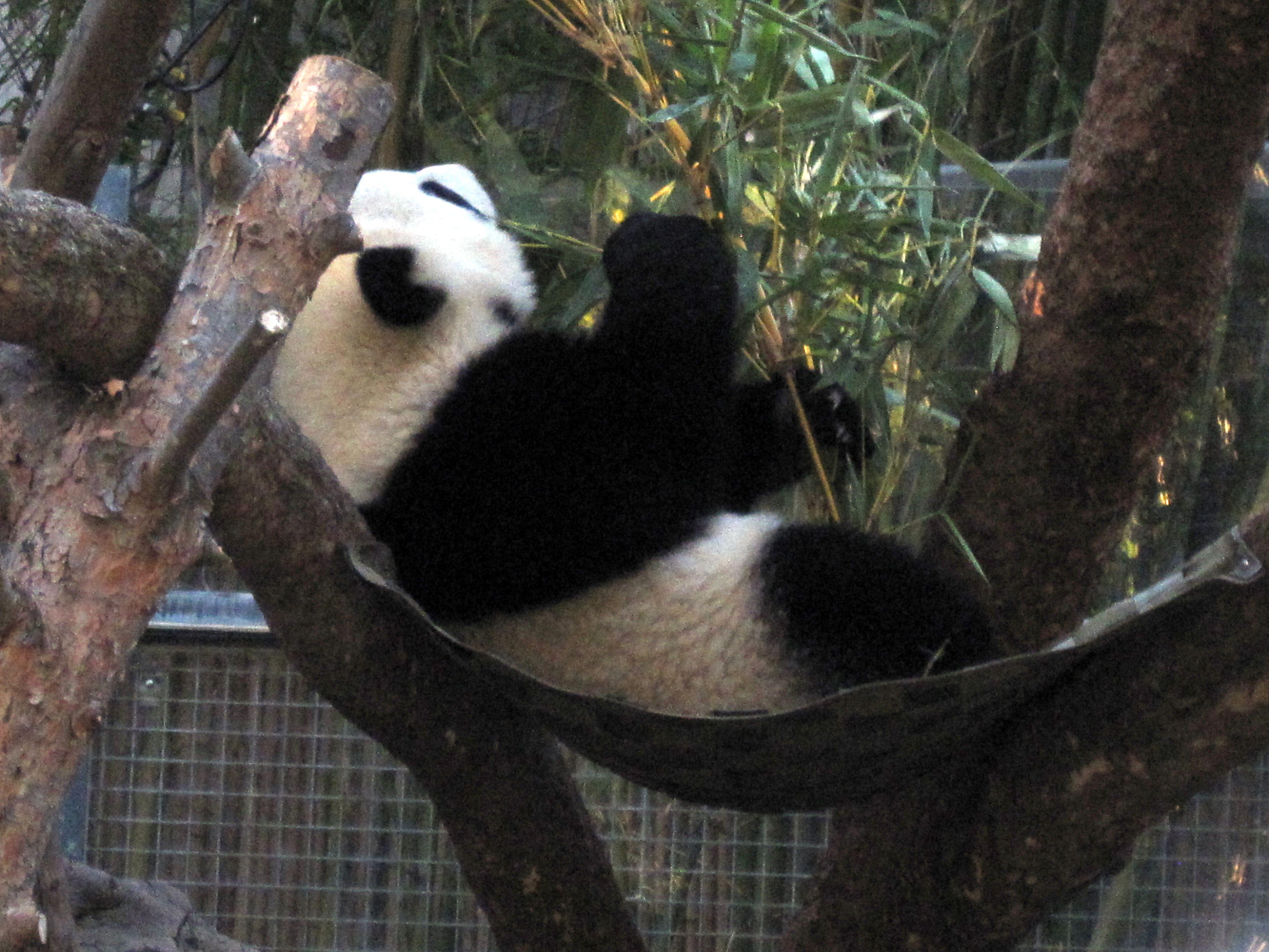 Life in a Hammock - Giant Panda @ San Diego Zoo