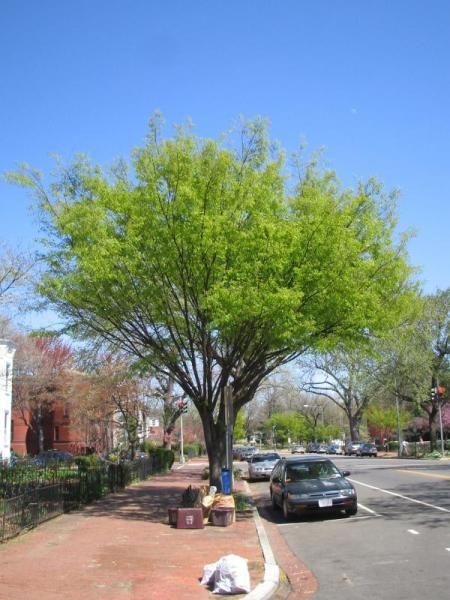 Zelkova Serrata Street Trees Watering Trees Driveway Landscaping