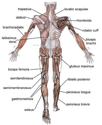 Músculo – Wikipédia, a enciclopédia livre | Frases | Pinterest | Frases
