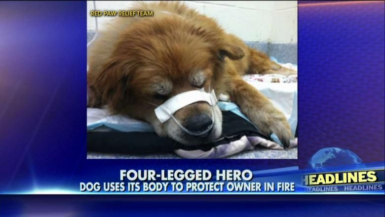 Hero Dog Uses Body To Shield Unconscious Owner During House Fire