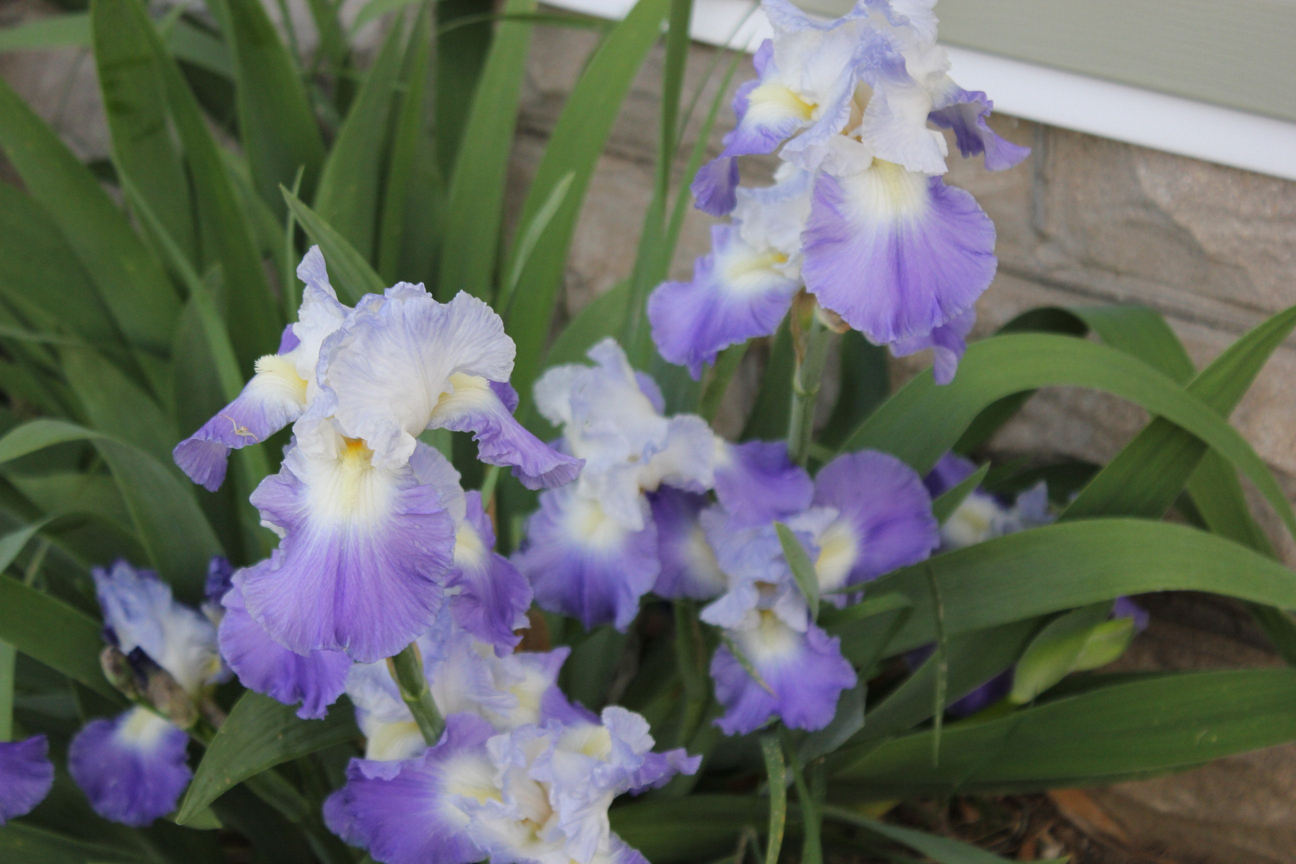 Some of my irises for my flower garden pinterest iris and gardens