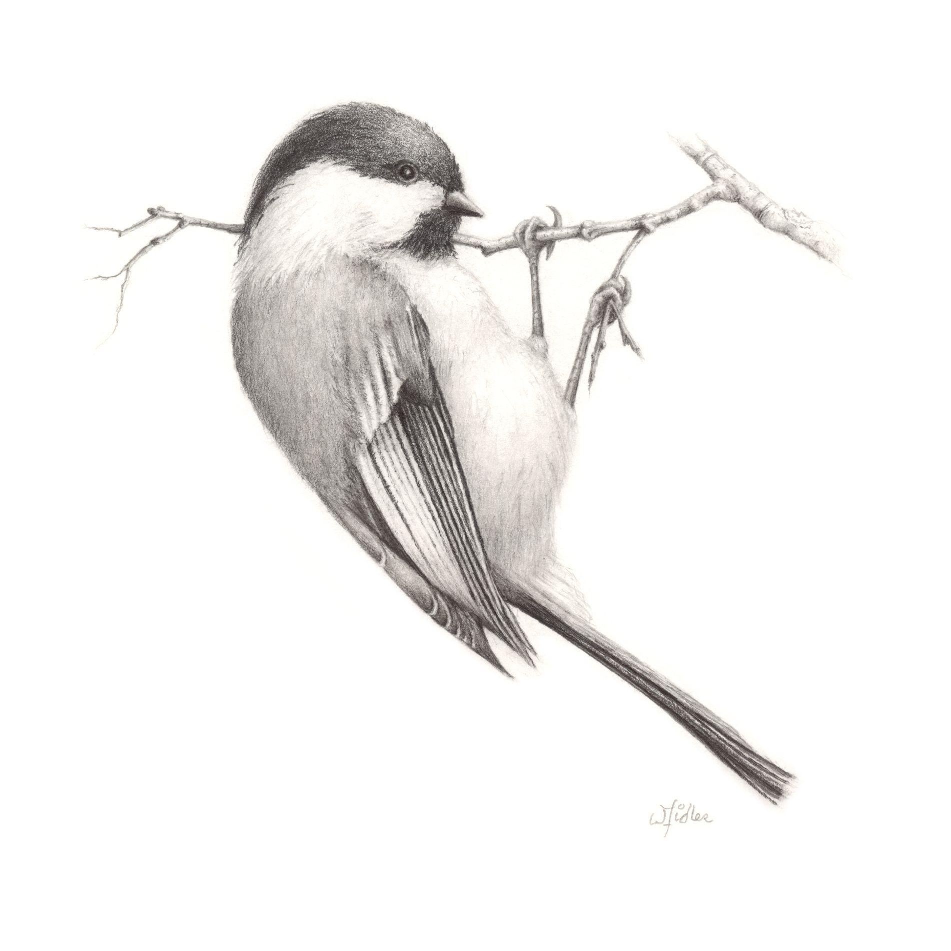 chickadee drawing - Google Search   Bird pencil drawing ... - photo#26