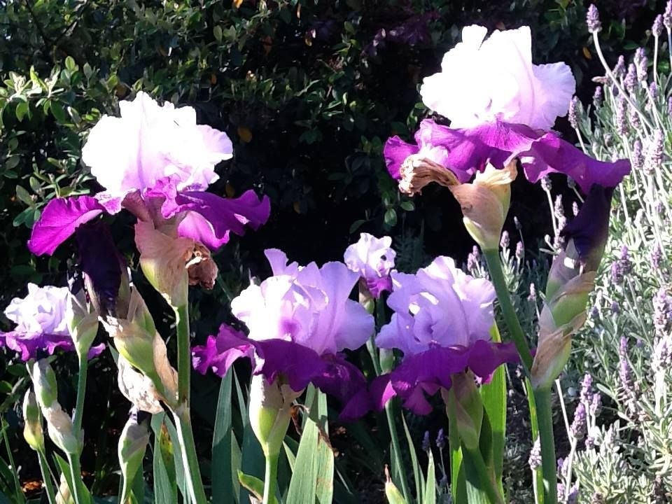 "Bearded Purple Iris in the Napa Valley. ""Tempting Fate"""