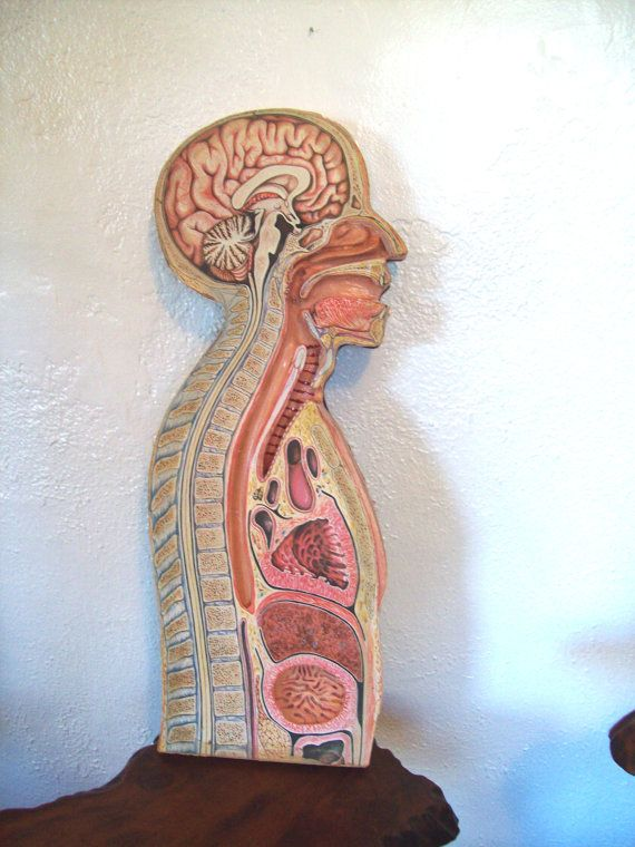 1950s Head Throat Lungs Cross Section Anatomical Model Vintage