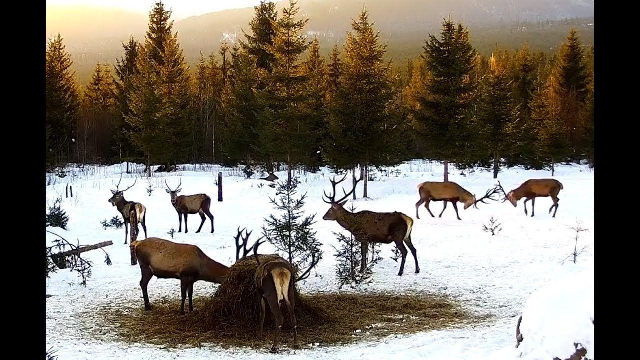 Wolf Haus Reggio Emilia live deer cam / bears / foxes / winter wildlife cam - live