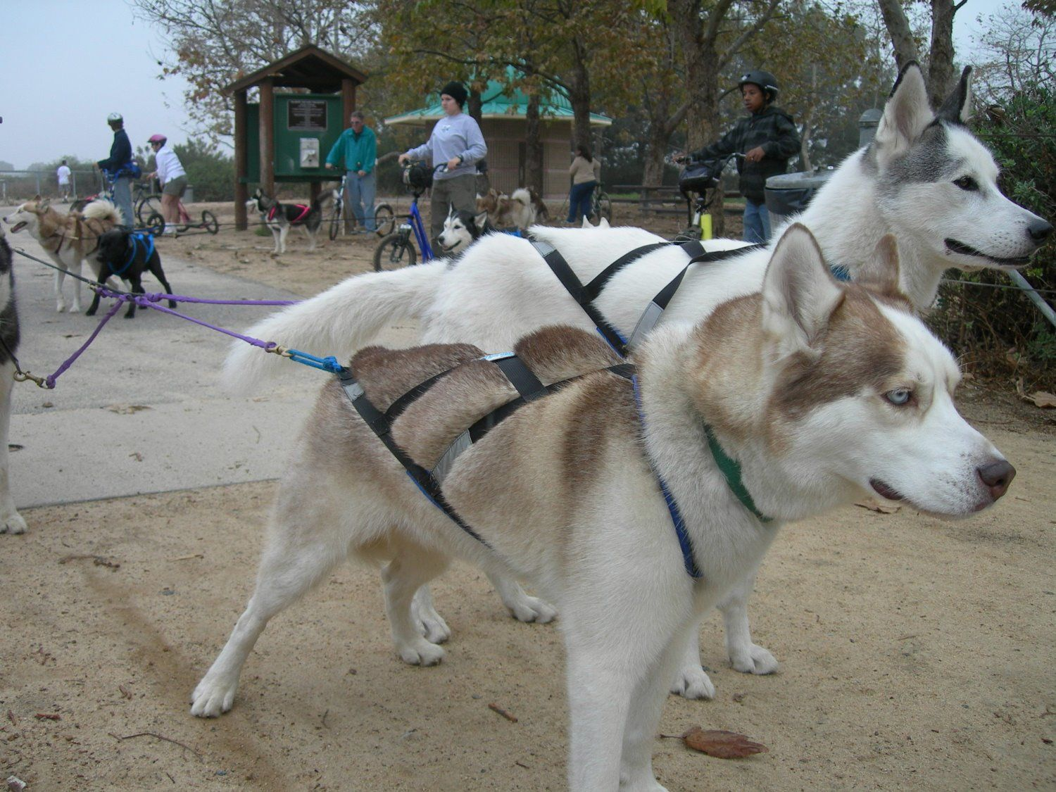 Pin by Gagnonpatrick on urbannmushing Snow dogs, Dogs